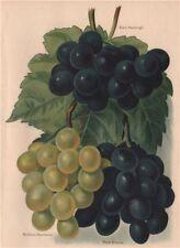 GRAPES. Black Hamburgh; Buckland Sweetwater; Black Alicante. WRIGHT 1892 print