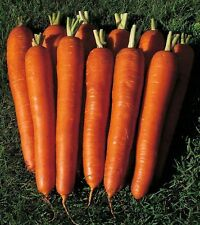 Carrot seeds Red Giant Ukraine Heirloom Vegetable Seeds