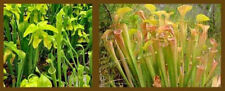 Carnivorous Green Pitcher Plant (Sarracenia oreophila) - Seeds
