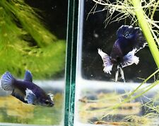 Betta RARE!! NEW!! Dumbo Blue Color Male Female Pairs [Premium] Ready to breed