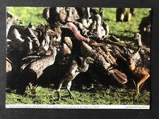 Vintage Postcard: Animals Birds: #A56 - White-backed Vulture - Hinde