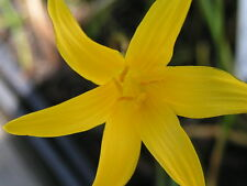 Rain Lily, Zephyranthes Flavissima, 6 bulbs, RARE, habranthus
