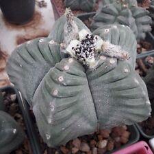 Real Fresh Astrophytum Myriostigma cv KIKKO rare japan cactus 10 SEED