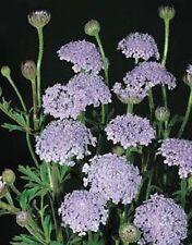 Didiscus Caeruleus Lacy Blue Flower Annual 50 Seeds