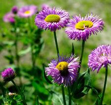 Erigeron speciosus - Pink Jewel - - Fleabane - 400 seeds - Perennials