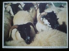 POSTCARD NORTHUMBERLAND UPPER REDESDALE SHOW - SHEEP