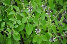 100 Holy Basil Seeds (Ocimum Tenuiflorum)