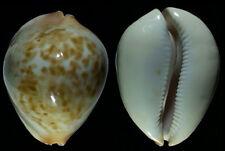 7391 Zoila jeaniana aurata - 74,5 mm - f++/f+++ - Australia - very massive!739