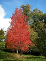 WOW  50 seeds! Bargain. Red Maple, Acer Rubrum, superb red autumn/fall colour
