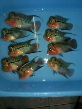 "9 X Live Fish Male 3.5"" Normal Grade Spide BigKok Shot Body Cichlid Aquariums"