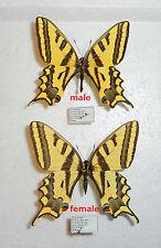 PAPILIO ALEXANOR ssp.VOLDEMAR *1 x male*USBEKISTAN