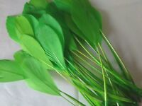 """10 pcs Stripped Coque Feathers Millinery & Crafts 5-7"""" Bright Green"""