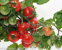 🔥 🍅 Zimmertomate hängend * 10 Samen * Tomaten Ernte das ganze Jahr