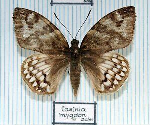 Schmetterlinge - butterflies - Sammlerexemplare gespannt - CASTNIIDAE No.8