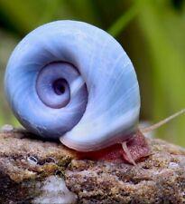 6+Live Blue Ramshorn Snails, Aquarium or Pond, Algae Eating *Limited Quantity*