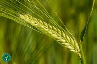 100 seeds of Barley - HORDEUM VULGARE + 5 seeds Sunflower