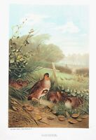 1885 Prang Chromo  PARTRIDGE BIRD/Birds WONDERFUL COLOR PRINT L@@K!