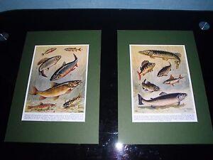 Mounted  Fish Print