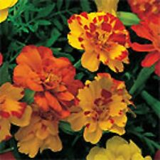 SIMBA MARIGOLD Tagetes patula mix-coloured flower plants - 6cell seedling punnet