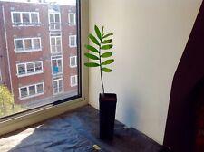 Plant: 1x Encephalartos senticosus  - Cycad Palm No Seeds