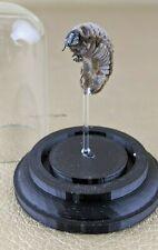 D3 Entomology Taxidermy Scarab beetle Grub Specimen Glass Dome Display oddity