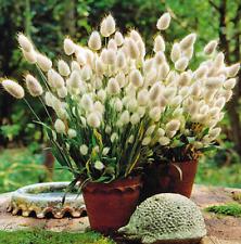 Seeds Lagurus Hare Tail Decor Grass Beautiful Flower Plants Bonsai Garden
