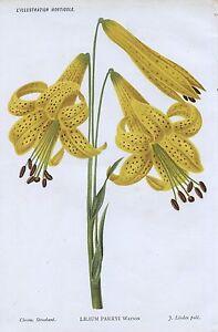1886 LILIUM PARRYI LILIACÉES LILIES Genuine Antique Botanical Print LINDEN