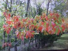 8 Fresh cut Sassafras Tree Cuttings, Live trees, Great hobby!