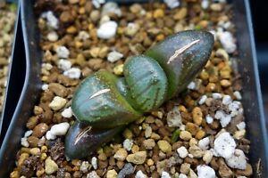 Succulent - Haworthia springbokvlakensis hyb. x 'tropical night' seedling