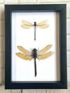 Green Emperor Dragonfly + Broad Winged Damselfly Display Deep Shadow Box Frame
