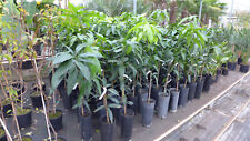 Mangobaum Mangifera indica Tommy Atkins ca. 100-120 cm Mango Früchte
