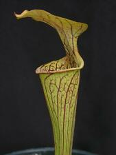 Carnivorous Sarracenia oreophila - Boaz Co., Alabama
