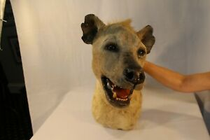 Spotted Hyena Shoulder Head Mount - Unique Taxidermy Piece -Beautiful to hang up