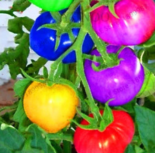 100 PCS Seeds Rare Rainbow Tomatoes Plants Ornamental Organic Bonsai Vegetables