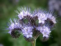 Phacelia tanacetifolia  Facelia - 5000 semillas frescas  flores abejas mellifera