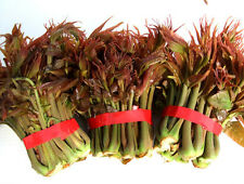 Chinese Toon Seed 40 Seeds Red Oil Toona Sinensis Roem Vegetable Garden Hot C005