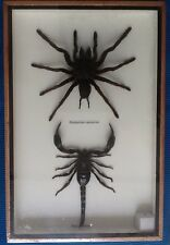 GIANT HUGH REAL BIG SPIDER SCORPION DISPLAY TAXIDERMY INSECT ENTOMOLOGY