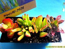 Succulents Crassulas 4 Varieties Campfire Crassula Compacta Ovata & Coral