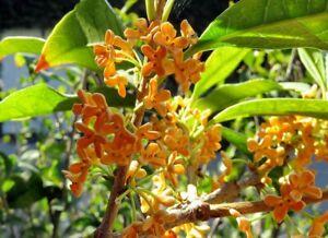 Osmanthus fragrans Seeds - Sweet Tea Olive TCM Evergreen Shrub Planting Seeds