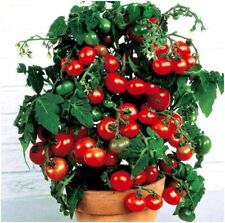 Seeds Tomato Bush Balcony Miracle Bonsai Seeds Russian Vegetables Plants Garden