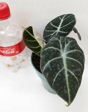 ALOCASIA  REGINULA ' BLACK VELVET'    Live plant