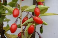 Lycium barbarum Goji Beeren Heilpflanze Wolfsbeere mit Wunderfrüchten 60-80 cm