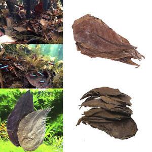 20Pc catappa leaves almond tree aquarium clean tool terminalia leaf about  G.jk