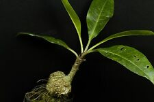 hy018 Myrmecodia tuberosa, very rare plant, caudex plant , ant plant