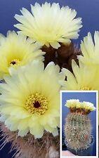 NOTOCACTUS SCHLOSSERI v18 pianta in vaso potted plant Cactus pot 18 cm