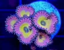 Beauty and the Beast Paly * Zoanthid * Zoas * Live Coral Frag * Aj's Aquariums