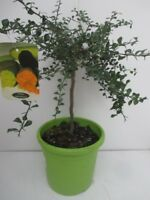 5 Pépins Graines De CITRON CAVIAR microcitrus australasica Fruits Agrume RARE !!