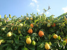 2x Exótico RESISTENTE trepadora, Passion Flower plantas, Passiflora caerulea,