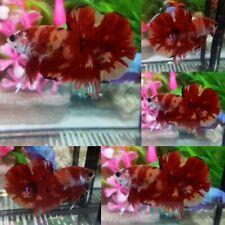 Nemo Emerald Halfmoon Plakat Male - IMPORT LIVE BETTA FISH FROM THAILAND