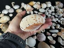 Lot of  Seashells Collection of Various Sizes and kinds Big and small Lot A